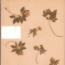 Image of ANEMONE, WOOD - Anemone quinquefolia L.