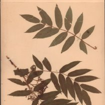 Image of ASH, MOUNTAIN - Sorbus americana Marsh.