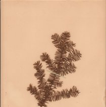 Image of YEW, AMERICAN - Taxus canadensis Marsh.