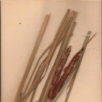 Image of Botany - 95.0527.1150