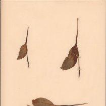Image of ADDER'S-TONGUE - Ophioglossum engelmanni Prantl.