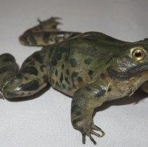 Image of Amphibians - 15.0104.104