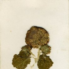 Image of Flower included with a dedication to Charles Austin in his autograph book,