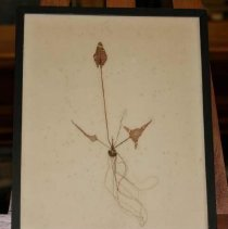 Image of 77.013.2 - Specimen of a Water Lily