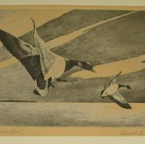 "Image of 79.236 - Lithograph: ""American Brant"""