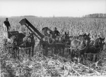 Image of Corn crop being harvested by a corn picker and wagon pulled by horses