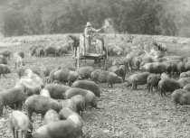 Image of Hogs being fed corn from the back of a farm wagon - Photograph, Black-and-White