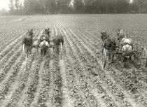 Image of Farm crop being tilled by two tillers and pulled by horses