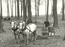 Image of Maple syrup being harvested and stored in barrels - Photograph, Black-and-White