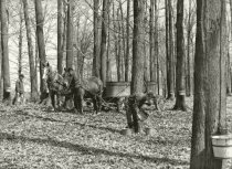 Image of Maple trees being harvested for maple syrup - Photograph, Black-and-White