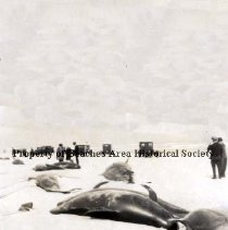 Image of Whales on the Beach - Pablo Beach, Florida  -    June 23, 1919 Whales washed up on beach.  Cars and peope strolling looking at whales.