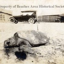 Image of Loggerhead Sea Turtle