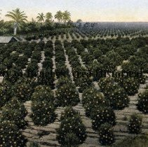 Image of Bird's Eye View of an Orange Grove, Florida - View of an orange grove, Florida Rows of orange trees with tall palms, back left