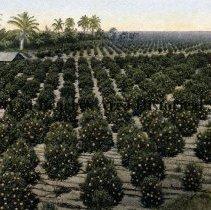 Image of Orange grove