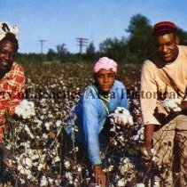 Image of Feathery cotton... - Feathery cotton can be likened to steel for it has been a foundation of one of America's mightiest empires.  Color photo with three workers picking cotton
