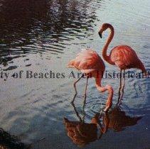 Image of Beautiful Flamingos in Florida