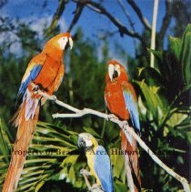 Image of In Florida, beautiful macaws at Parrot Jungle - In Florida, beautiful macaws at Parrot Jungle  Color photo: three parrots in tree