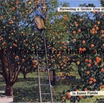 Image of Harvesting a Golden Crop of Oranges in Sunny Florida - Harvesting a Golden Crop of Oranges in Sunny Florida The orange a native of Asiatic Countries was brought to America by the Spaniards in the 16th Century. The blossoms are exquisitely fragrant with delicate white petals. A tree in all its golden glory of ripened fruit is a delight to see.   Color illustration: Worker on ladder in an orange grove.