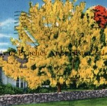 """Image of The Golden Shower Tree, Florida - The Golden Shower Tree, Florida The Cassia Fistula is a native of the East Indies, but thrives in South Florida. It has great masses of yellow blossoms which undoubtedly suggested its more common name of """"Golden Shower Tree."""" It blooms in June with the Royal Poinciana and Jacaranda trees and all three are sometimes planted together resulting in a brilliant blending of the scarlet, yellow and blue which defies description.   Color illustration"""