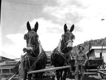 Image of Mules and two men outside