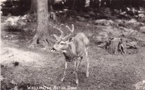 Image of Washington Native Deer