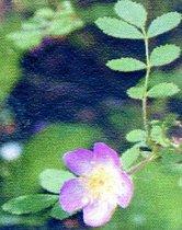 Image of AA 2002.0109.006 - Sally Yeo's Nootka Rose