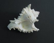Image of Whelk type shell