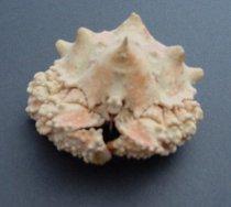 Image of 2007.047.024 - Invertebrate