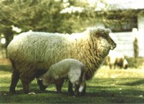 Image of Pinson sheep