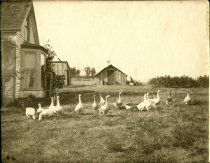 Image of Geese at Mangan family home on Guemes Island