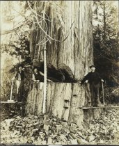 Image of D.VI.042 - Undercut in 16' diameter tree-Washington