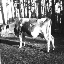 Image of Bill Lowman's cow