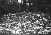 Image of Salmon on unknown cannery floor