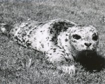 Image of WF 5497.002 - seal, caught by Father Paul Auer