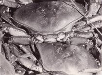 "Image of ""Guemes Island Crab Catch"""