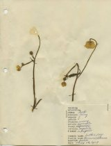 Image of dried buttercup