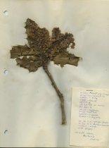Image of dried Oregon grape
