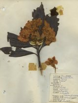 Image of dried rhododendron