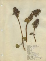Image of dried mint