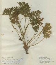 Image of cut leafed geranium