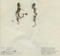 Image of dwarf orthocarpus