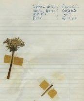Image of dried dandelion