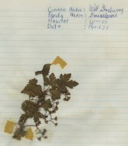 Image of dried wild gooseberry