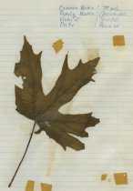 Image of dried maple