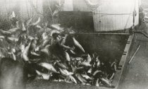 Image of Hold almost full of fish