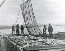 Image of salmon from trap in scow