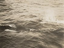 Image of porpoise in water