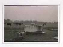 """Image of Kwilecki, """"Cows Grazing"""" (1978"""