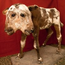 Image of Mount, Taxidermy -