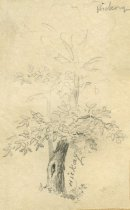 Image of Hickory - Drawing